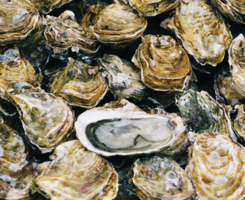 A large group of harvested oysters with one cut in half