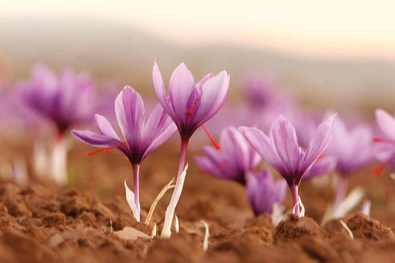 A close up view of a saffron flower
