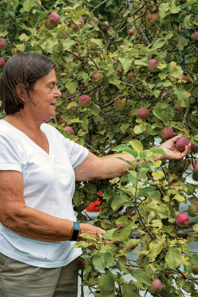 A person harvesting apples from a tree