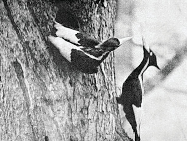A pair of ivory-billed woodpeckers on a tree