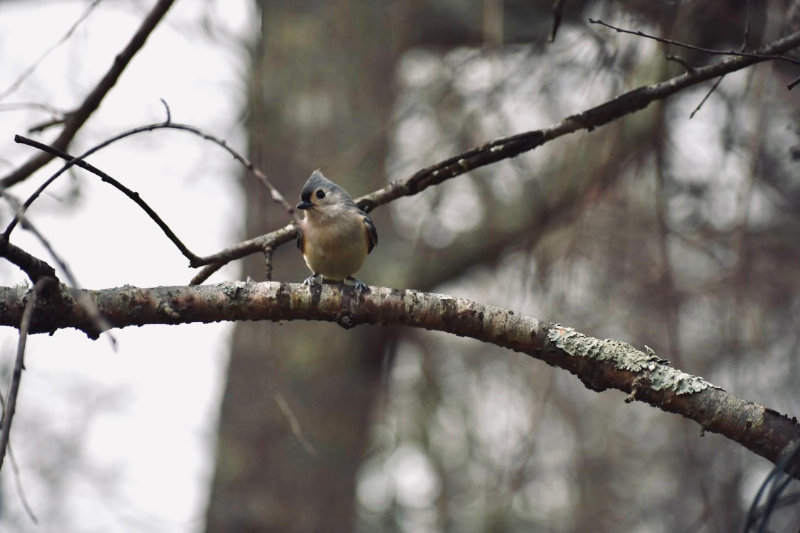 A titmouse perched on a branch