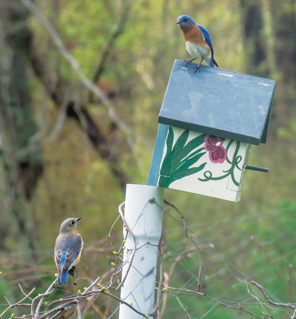 Two bluebirds perched at a painted birdhouse