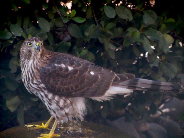 Coopers Hawk in front of dark green foliage