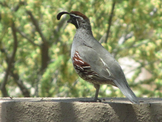 Gambels Quail perched on a cement surface