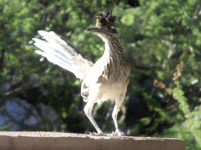 Road runner, perched on a cement surface