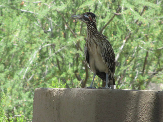Road runner perched on a cement surface with light green foliage behind it