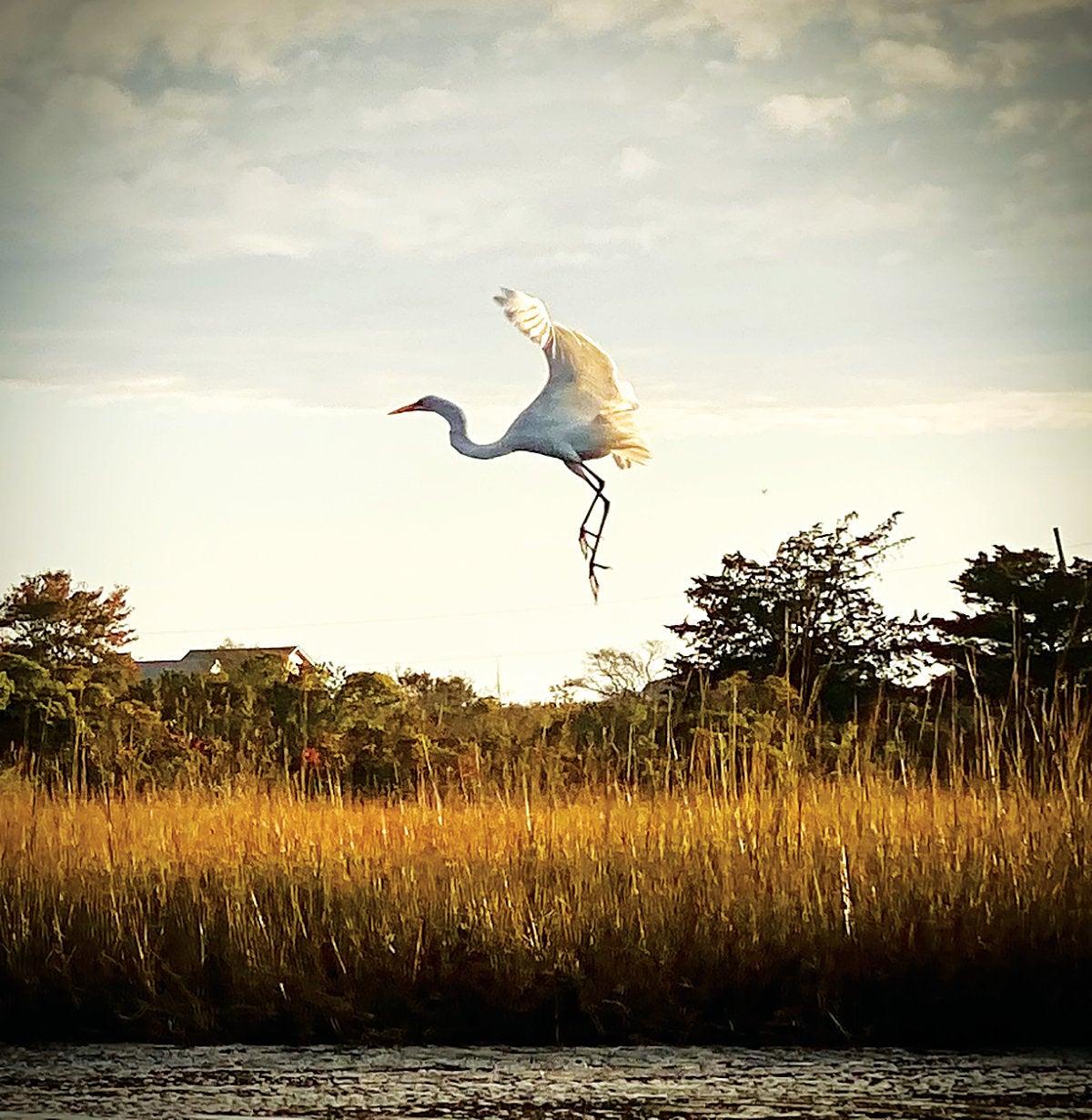 An egret in flight seen from Ninigret Pond in Charlestown, R.I.