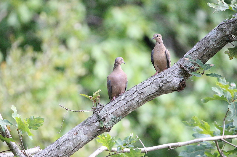 A pair of mourning doves resting on a tree branch