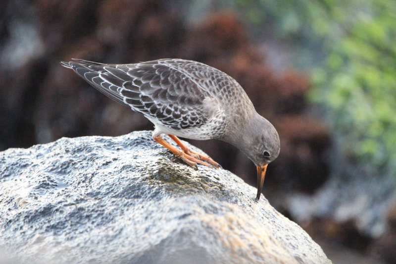 A sandpiper on a rock, pecking