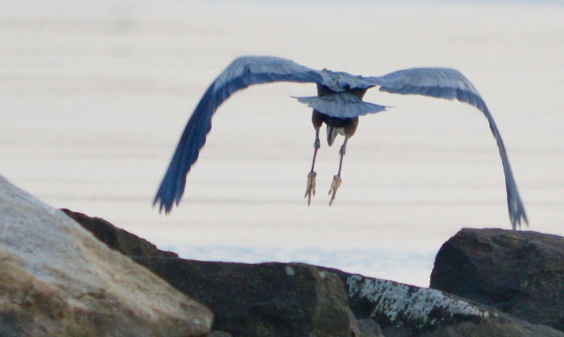 A great blue hero, seen from behind, flies over rocks towards the water