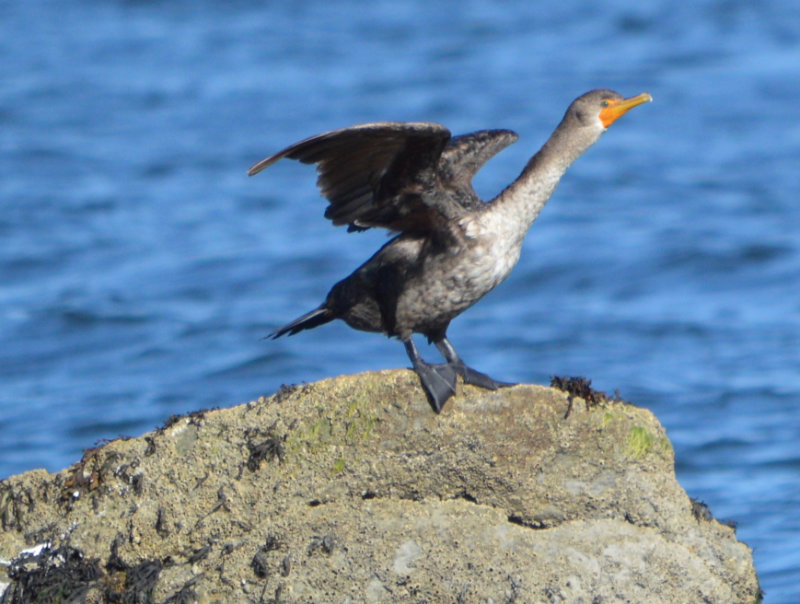 A cormorant perched on a rock with its wings outstretched