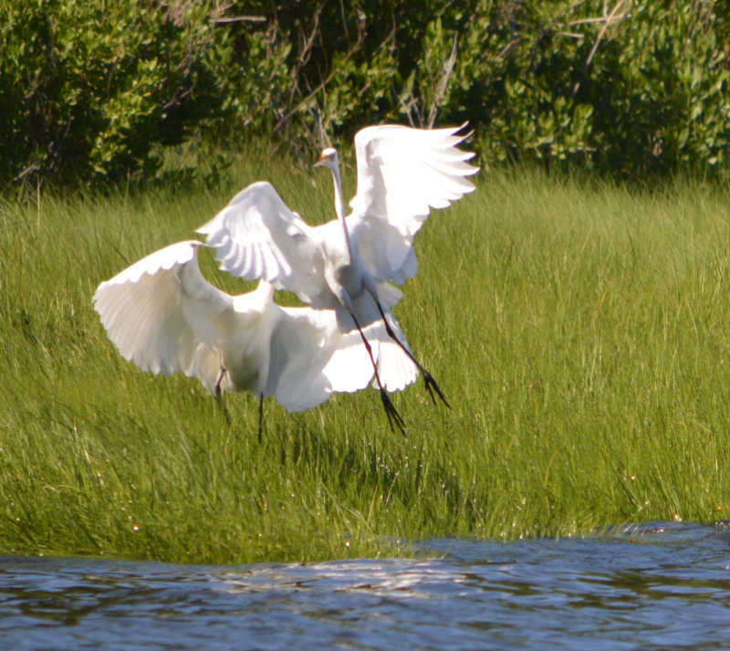 Two egrets, with wings raised on a grassy bank, give the appearance of dance