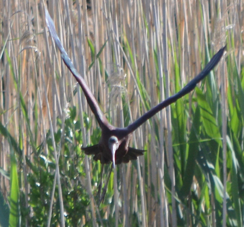 A glossy ibis flying towards the camera with reeds behind it