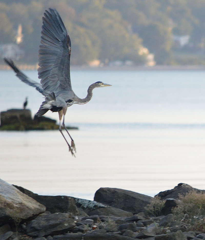 A Great Blue Heron taking wing over the water with a rocky shoreline below