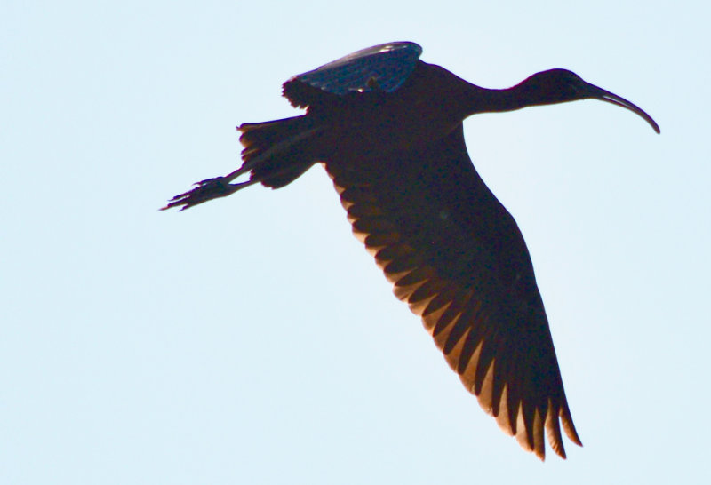 A glossy ibis, silhouetted against the blue sky, in flight