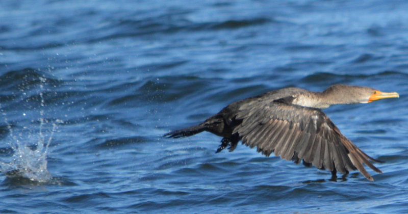 A cormorant taking flight over the water