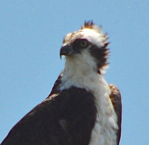 A close up of the head and folded upper wings of an osprey, feathers being rushed by the wind
