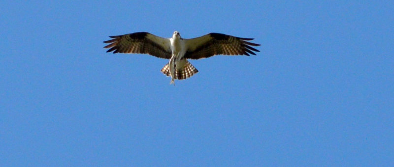 An osprey in flight, seen from below with a fish held in its talons