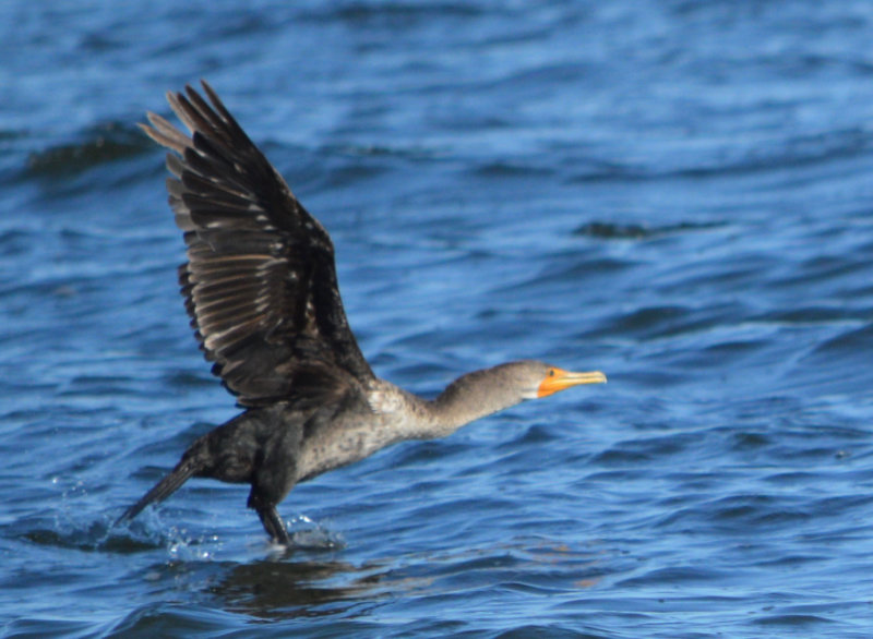 A cormorant with wings outstretched, takes flight in the water