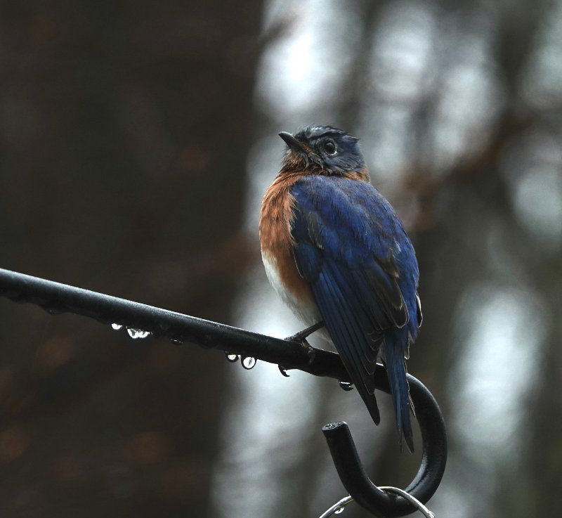 Eastern bluebird seated on a tree branch in the rain