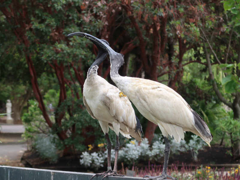 Two ibises with bills intertwined, in a lush tropical landscape