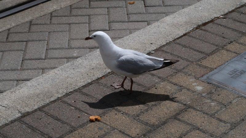 A black billed gull walking on a brick pathway
