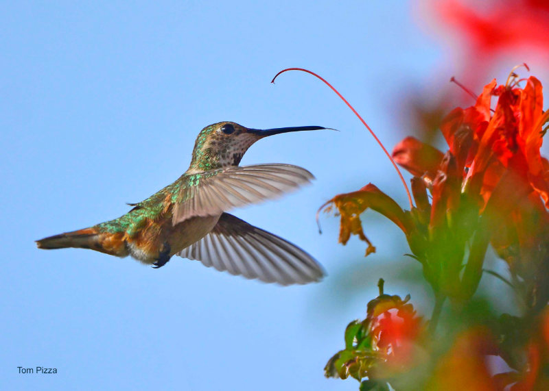 A close-up of a hummingbird feeding at bright red, trumpet-shaped flowers