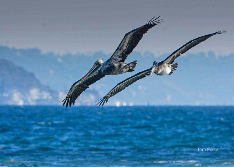 Two pelicans in flight over the ocean