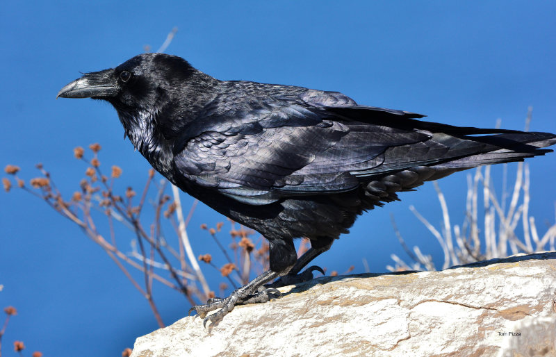A raven seen in profile perched on a rock next to a sprig of berries