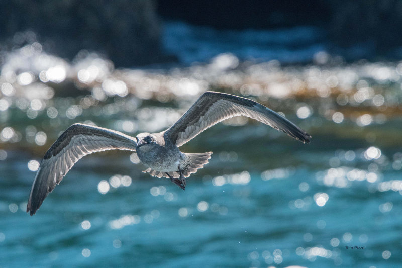 A gull in flight in front of sparkling water