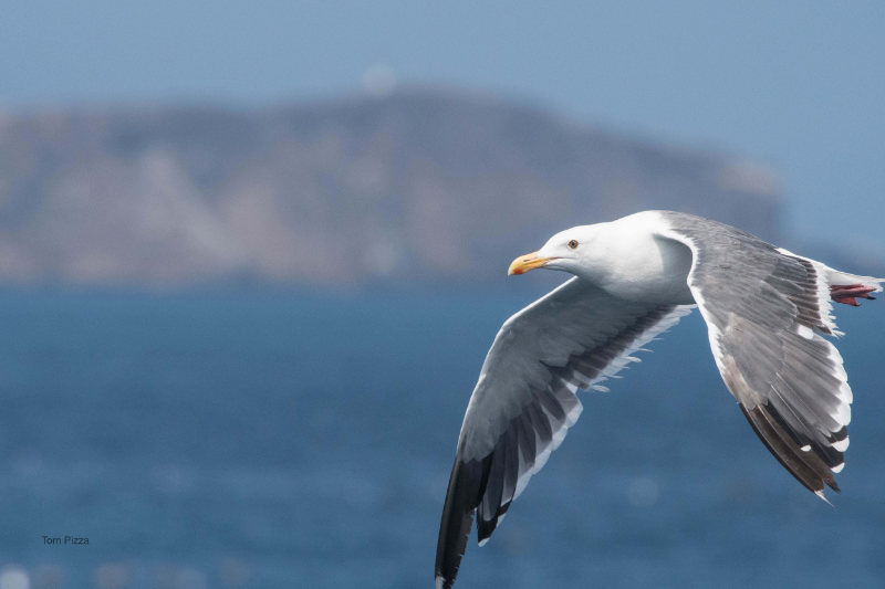 A gull in flight with a blurry ocean and cliff landscape in the background