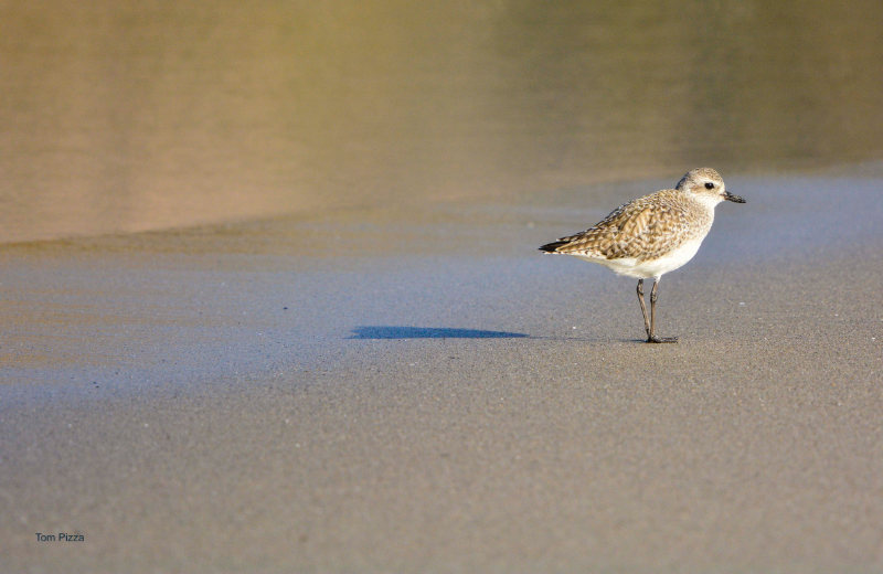 A small tern on a beach partially glossy from the water