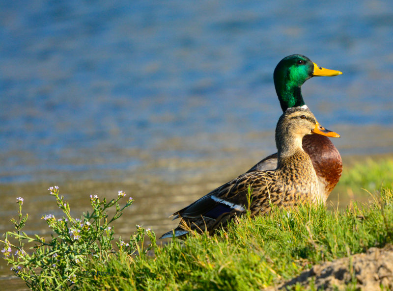Two ducks standing at the shore in the grass