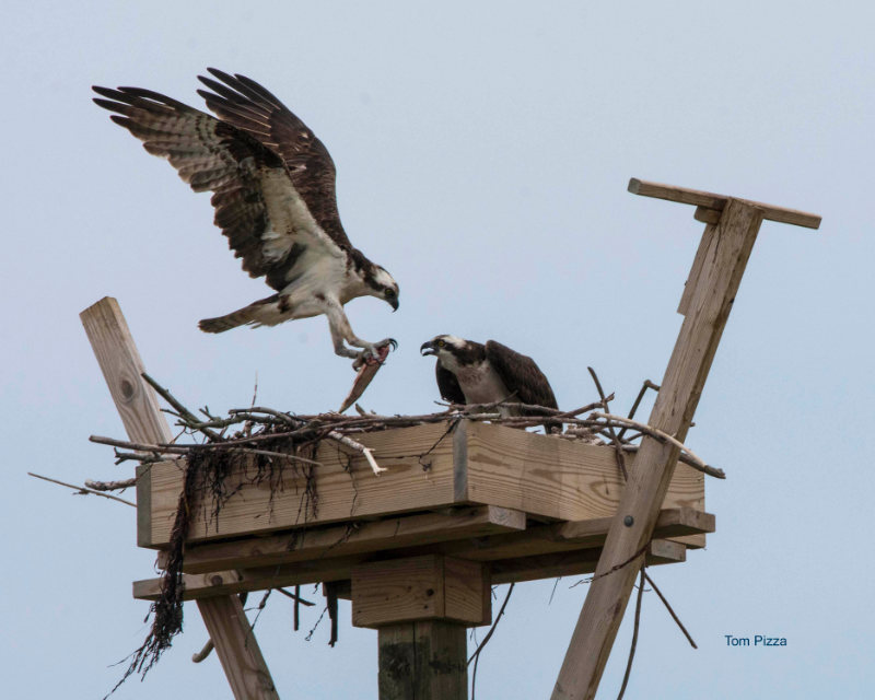 Osprey landing on a nesting platform with a fish in its talons