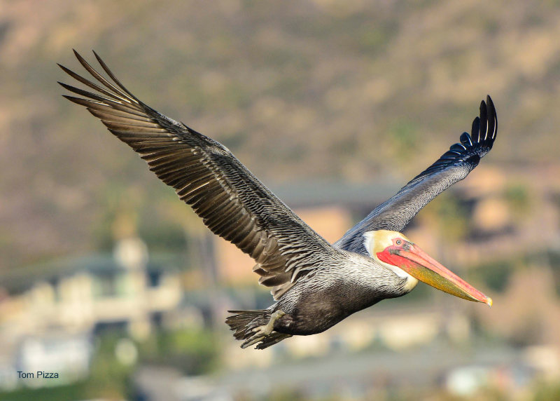 A pelican in flight with hillside houses in the background