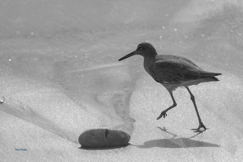 A small sea bird walking on the sand
