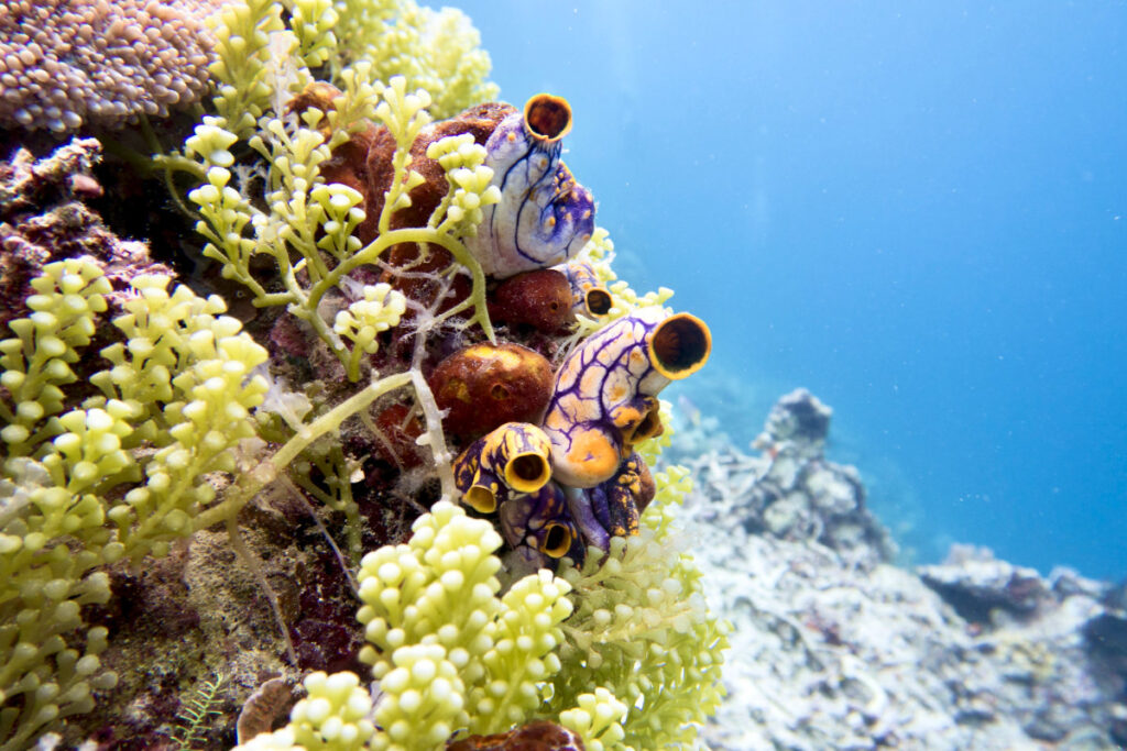 Caulerpa racemosa on a reef in Misool, Indonesia