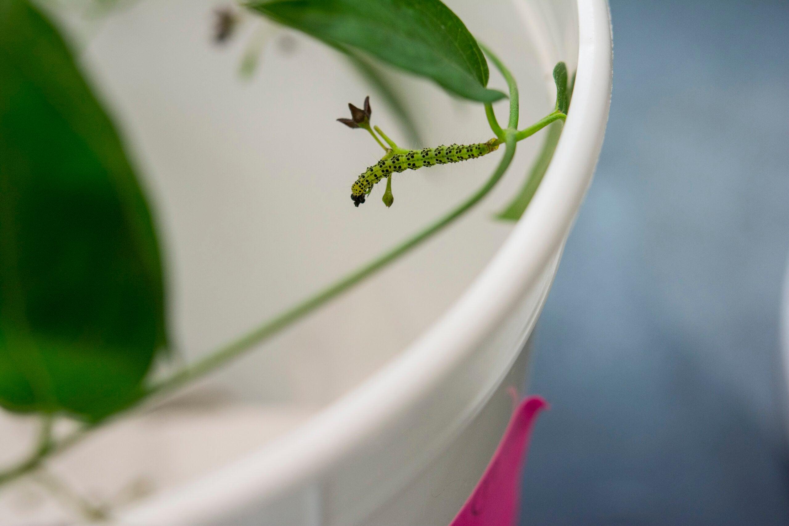 Hypena opulenta caterpillar