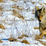 Coyote in the snow, picture by Alan Emery
