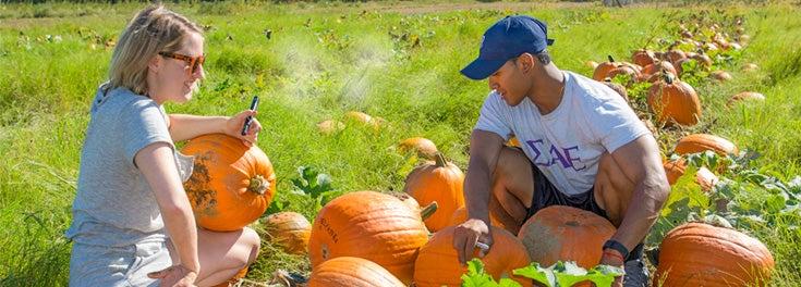 Students harvesting pumpkins