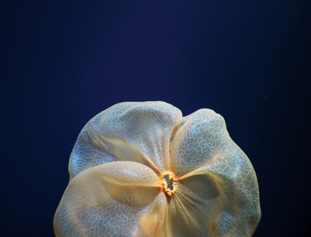 photo of a underwater jellyfish that looks like a flower