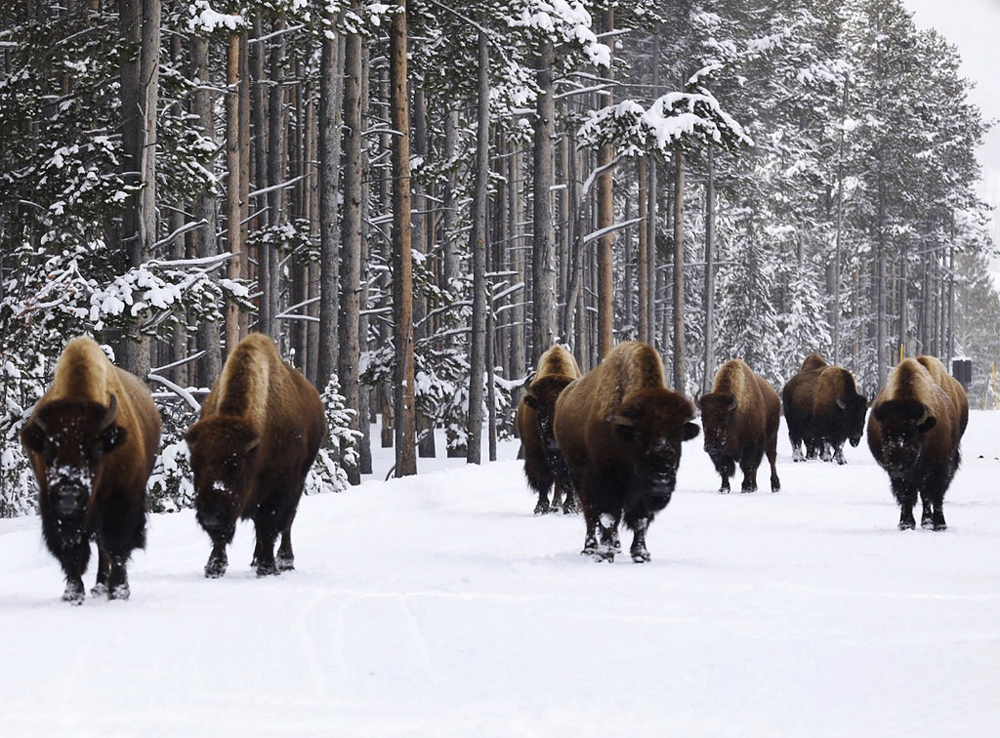 Herd of bison walking in the snow in Yellowstone