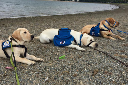3 yellow labs in training