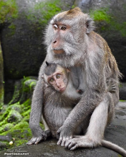 a photo of a young macaque clinging to its mother at the local watering hole in Ubud, Bali, Indonesia