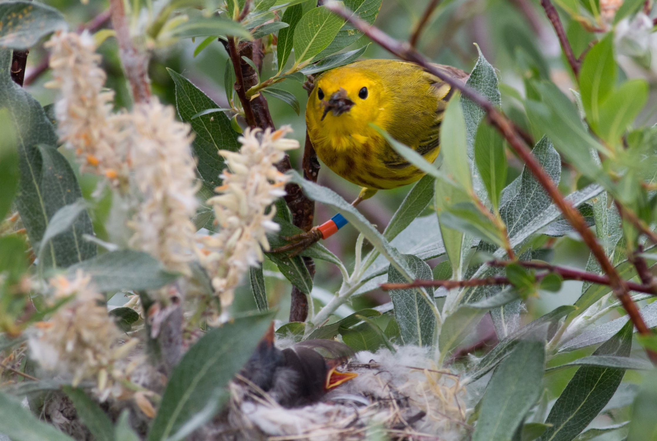 a yellow warbler tends to her young