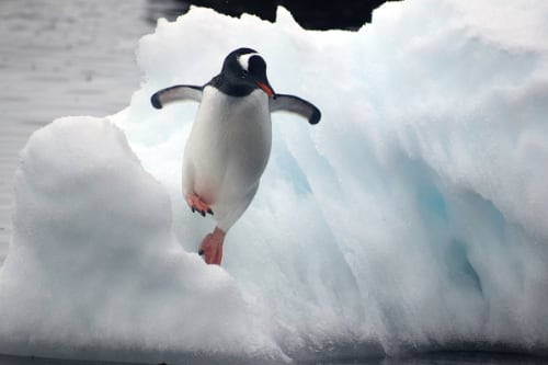 a gentoo penguin leaps off an ice flow