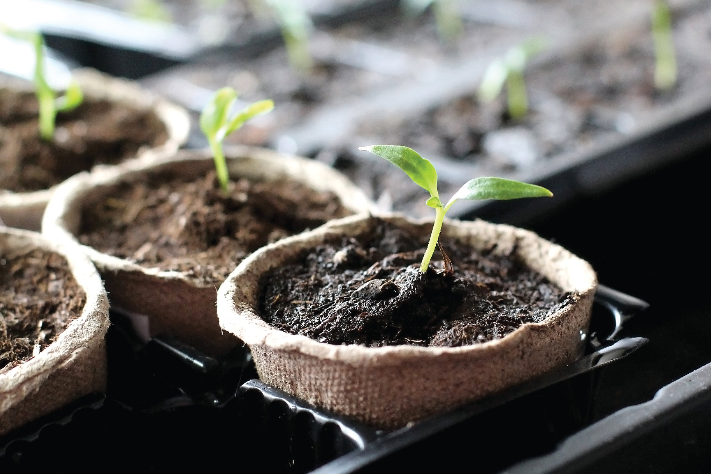 seedlings in starter pots