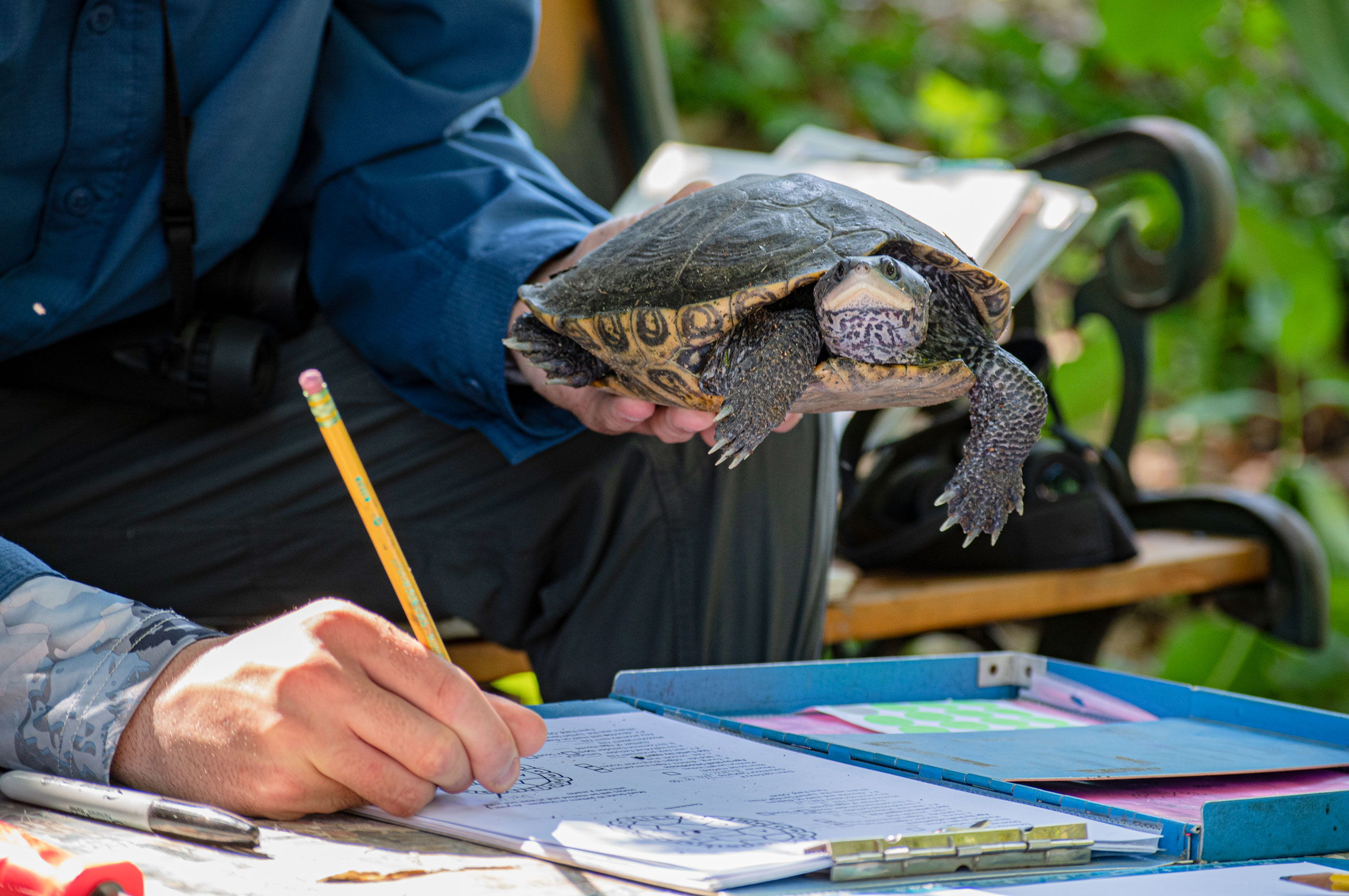 a student documents terrapin research