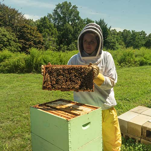 Student working with bees in the hive