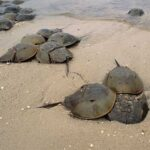 horseshoe crabs on the shore